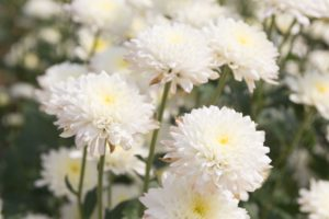 Close up of White Cushion Mums